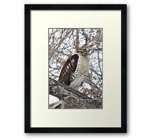 Ferruginous Hawk (Buteo regalis) Framed Print