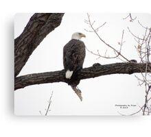 Bald Eagle (Haliaeetus leucocephalus) Canvas Print