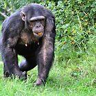 Chimpanzee with an orange by Ralph Goldsmith