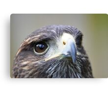 Harris Hawk Canvas Print