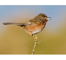 Dartford Warbler Photographic Print