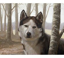 Siberian Husky Photographic Print