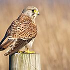 Kestrel by Alan Forder