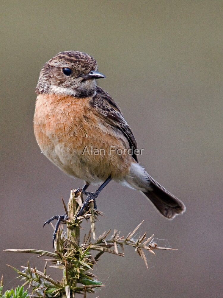 Stonechat by Alan Forder