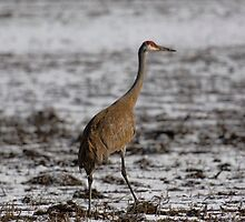Lone Sandhill Crane 2 by Thomas Young