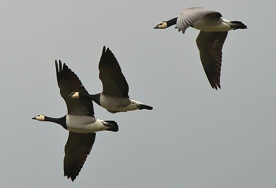 Geese-II by Peter Wiggerman