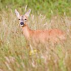 Roe Deer by Alan Forder