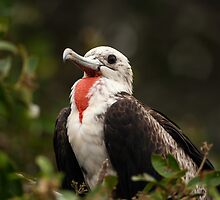 Juvenile Male Magnificent Frigatebird by Paul Wolf