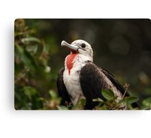 Juvenile Male Magnificent Frigatebird Canvas Print