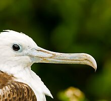 Juvenile Magnificent Frigatebird by Paul Wolf