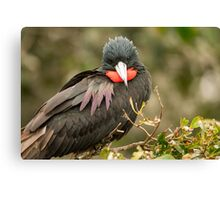 Male Magnificent Frigatebird 2 Canvas Print