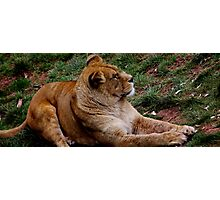 African Lioness Photographic Print