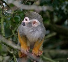 Squirrel Monkey by Ladymoose