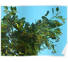 Hanging Linden Blossoms Poster