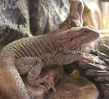 Lizard by Bob Hardy