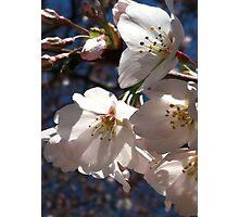 Cherry Blossom Glow Photographic Print