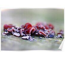 Red Jelly fungus Poster