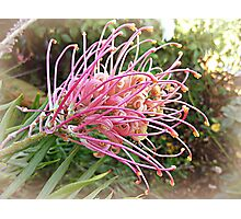 Grevillea in all its Glory Photographic Print