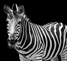 Zebra with a mohawk  by Andrew Croucher