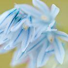 ...blue scilla...... by Jane Anastasia Studio