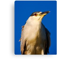 Black-crowned Night-Heron Close-up Canvas Print