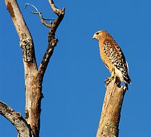 Red-shouldered Hawk by Paul Wolf