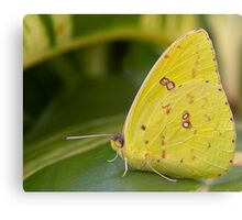 Cloudless Giant Sulphur Butterfly Canvas Print