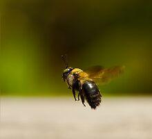 Carpenter Bee In Flight by Paul Wolf