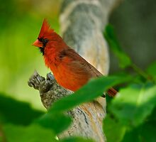 Male Northern Cardinal by Paul Wolf