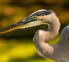 Great Blue Heron Portrait by Paul Wolf