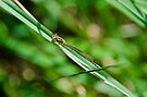 Damselfly II by Adam Le Good