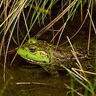 American Bullfrog in the Reeds by Paul Wolf