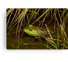 American Bullfrog in the Reeds Canvas Print