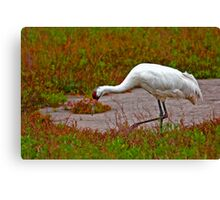 Foraging Whooping Crane Canvas Print