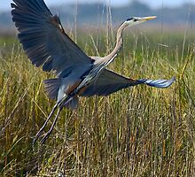 Great Blue Heron Taking Off by Paul Wolf