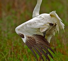 Stretching Whooping Crane by Paul Wolf