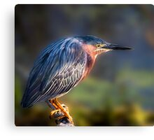 Green Heron Close-up Canvas Print