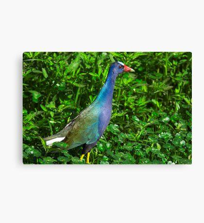 Purple Gallinule Canvas Print