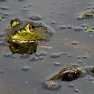 American Bullfrog at Brazos Bend by Paul Wolf