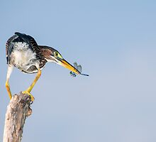 Green Heron with Blue Dragonfly by Paul Wolf