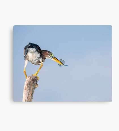 Green Heron with Blue Dragonfly Canvas Print