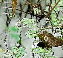 Male Bullfrog by Paul Wolf