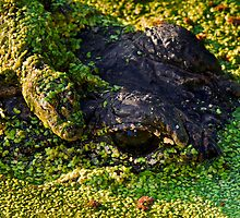 Mama Gator with Baby by Paul Wolf