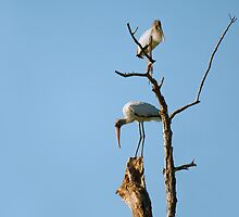 Wood Storks by Paul Wolf