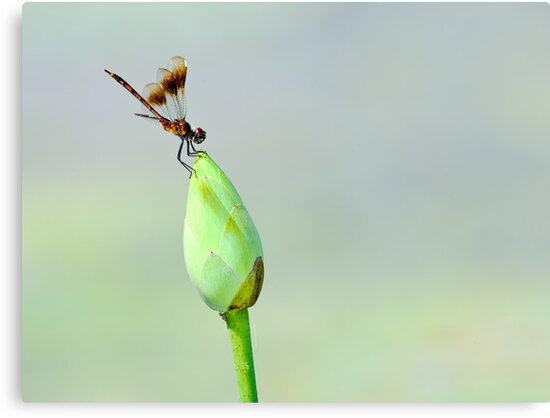 Dragonfly on Lotus Bud by Paul Wolf