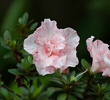 White and pink tiger-striped Azalea by Andrew Croucher