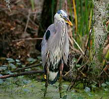Great Blue Heron by Paul Wolf