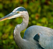 Great Blue Heron Close-Up by Paul Wolf