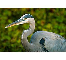 Great Blue Heron Close-Up Photographic Print