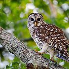 Barred Owl Walking Up a Tree by Paul Wolf